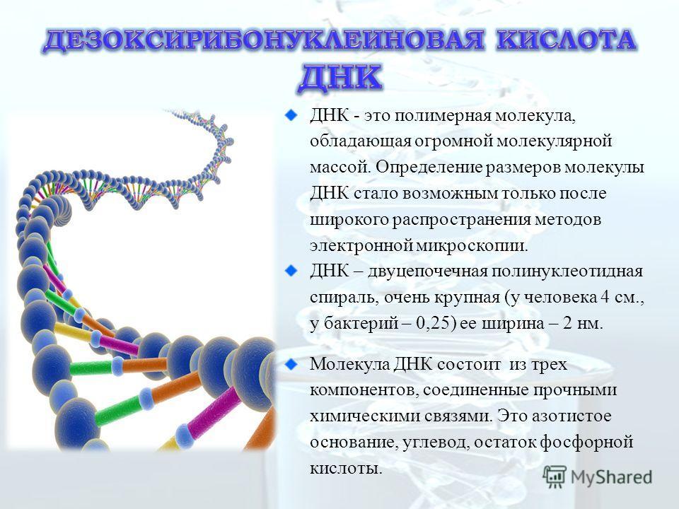 ДНК - это полимерная молекула, обладающая огромной молекулярной массой. Определение размеров молекулы ДНК стало возможным только после широкого распространения методов электронной микроскопии. ДНК – двуцепочечная полинуклеотидная спираль, очень круп