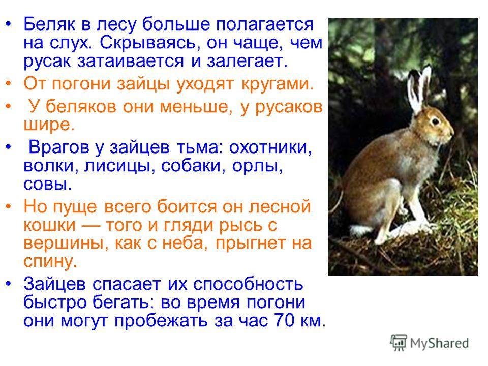 Беляк в лесу больше полагается на слух. Скрываясь, он чаще, чем русак затаивается и залегает. От погони зайцы уходят кругами. У беляков они меньше, у русаков шире. Врагов у зайцев тьма: охотники, волки, лисицы, собаки, орлы, совы. Но пуще всего боитс