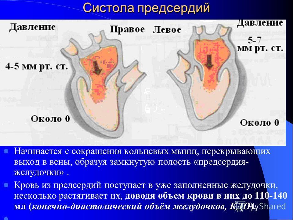 Систола предсердий Начинается с сокращения кольцевых мышц, перекрывающих выход в вены, образуя замкнутую полость «предсердия- желудочки». Кровь из предсердий поступает в уже заполненные желудочки, несколько растягивает их, доводя объем крови в них до