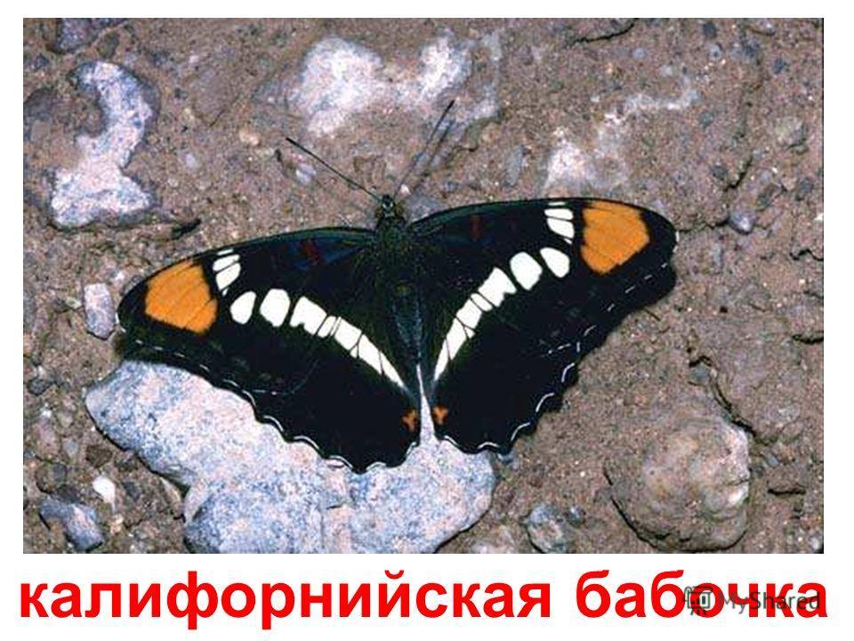 мраморная бабочка Мраморная бабочка