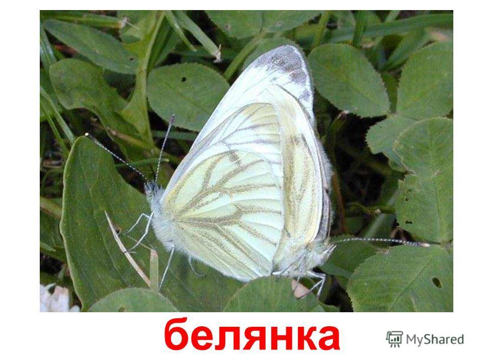 белянка Белянка