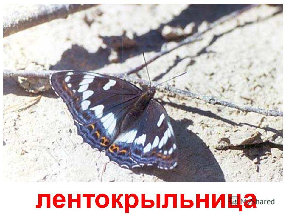 насекомые (бабочки) Насекомые (бабочки) papa-vlad.narod.ru