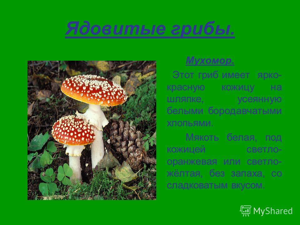 Ядовитые грибы. Мухомор. Этот гриб имеет ярко- красную кожицу на шляпке, усеянную белыми бородавчатыми хлопьями. Мякоть белая, под кожицей светло- оранжевая или светло- жёлтая, без запаха, со сладковатым вкусом.
