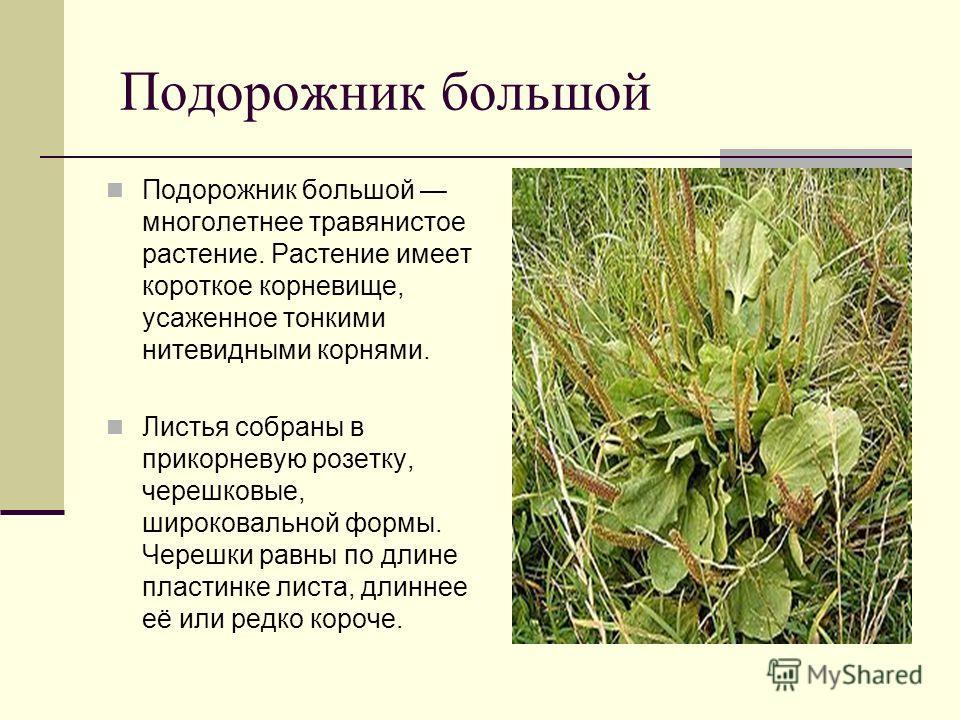 Подорожник большой Подорожник большой многолетнее травянистое растение. Растение имеет короткое корневище, усаженное тонкими нитевидными корнями. Листья собраны в прикорневую розетку, черешковые, широковальной формы. Черешки равны по длине пластинке