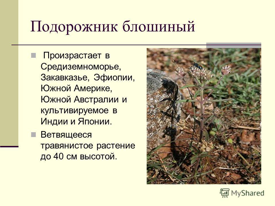 Подорожник блошиный Произрастает в Средиземноморье, Закавказье, Эфиопии, Южной Америке, Южной Австралии и культивируемое в Индии и Японии. Ветвящееся травянистое растение до 40 см высотой.