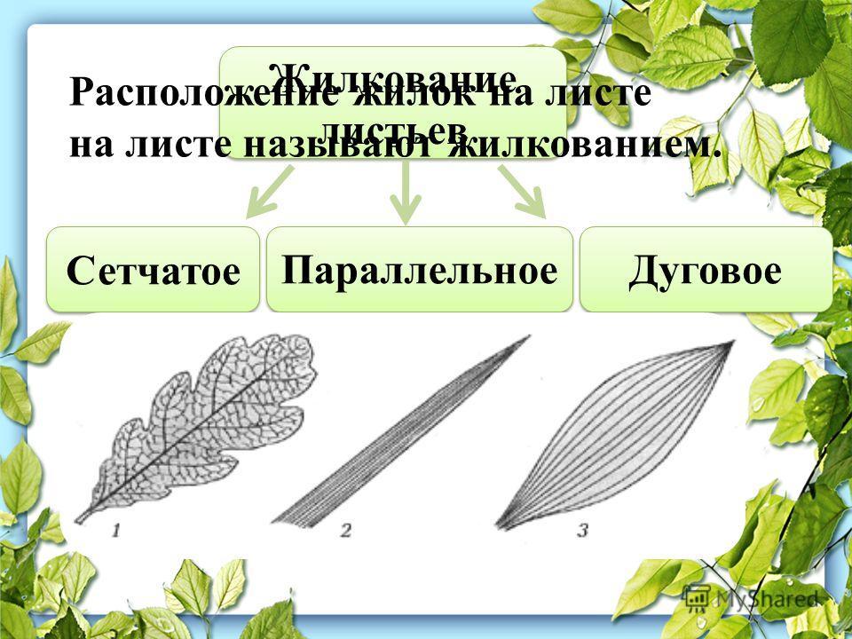 Жилкование листьев Сетчатое Параллельное Дуговое Расположение жилок на листе на листе называют жилкованием.