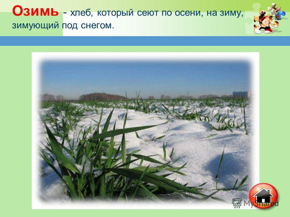 Озимь - хлеб, который сеют по осени, на зиму, зимующий под снегом.