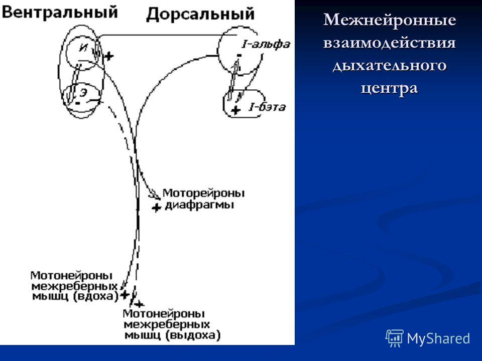 Межнейронные взаимодействия дыхательного центра