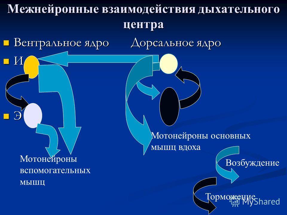Вентральное ядро Дорсальное ядро Вентральное ядро Дорсальное ядро И I α И I α Э I β Э I β Мотонейроны вспомогательных мышц Мотонейроны основных мышц вдоха Возбуждение Торможение