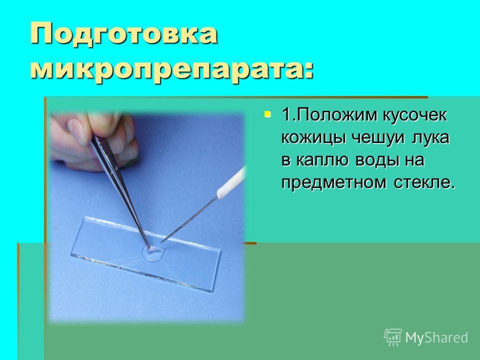Подготовка микропрепарата: 1. Положим кусочек кожицы чешуи лука в каплю воды на предметном стекле. 1. Положим кусочек кожицы чешуи лука в каплю воды на предметном стекле.
