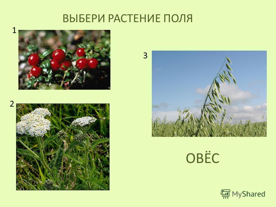 ВЫБЕРИ РАСТЕНИЕ ПОЛЯ ОВЁС 1 2 3