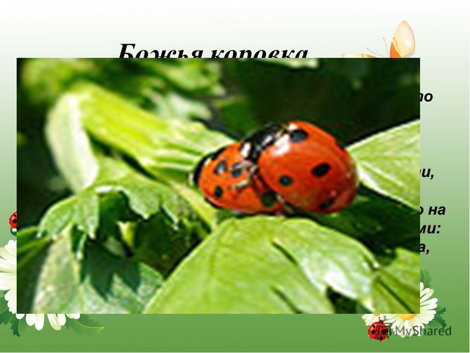 Божья коровка Самый распространённый жук с семью точками на блестящих надкрыльях. Величина жука менее 1 см. Количество точек может быть как больше, так и меньше семи. Считается, что божьи коровки приносят счастье. Маленькие дети, поймав жука, выпуска