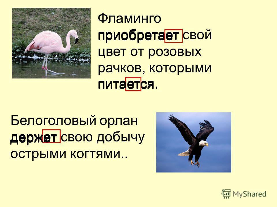 Фламинго приобретает свой цвет от розовых рачков, которыми питается. Белоголовый орлан держет свою добычу острыми когтями.. приобретает питается. держит держет