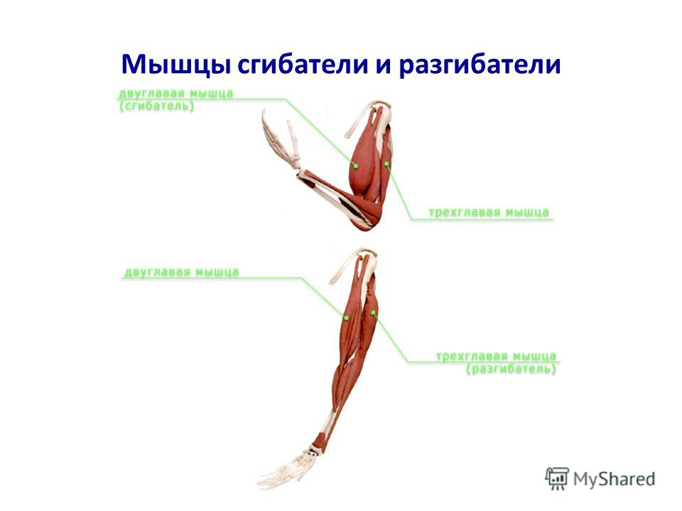 Мышцы сгибатели и разгибатели