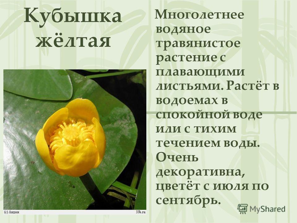 Кубышка жёлтая Многолетнее водяное травянистое растение с плавающими листьями. Растёт в водоемах в спокойной воде или с тихим течением воды. Очень декоративна, цветёт с июля по сентябрь.