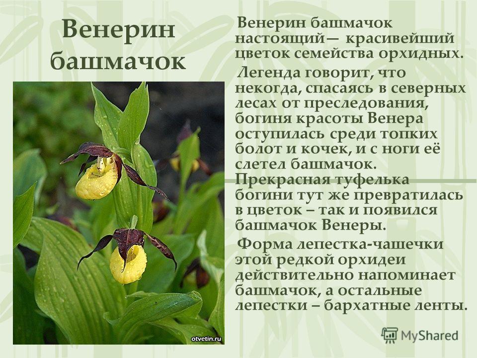 Венерин башмачок Венерин башмачок настоящий красивейший цветок семейства орхидных. Легенда говорит, что некогда, спасаясь в северных лесах от преследования, богиня красоты Венера оступилась среди топких болот и кочек, и с ноги её слетел башмачок. Пре