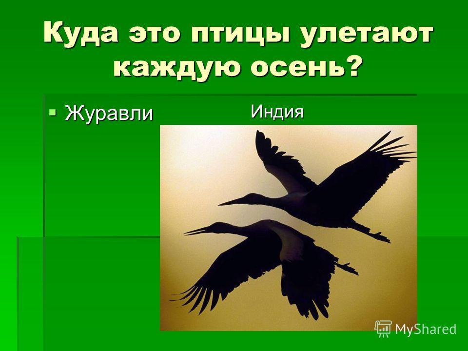 Куда это птицы улетают каждую осень? Журавли Журавли Индия