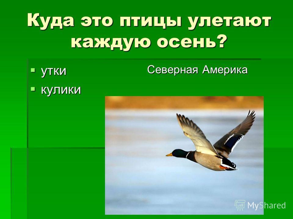 Куда это птицы улетают каждую осень? утки утки кулики кулики Северная Америка