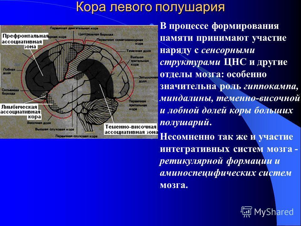 Кора левого полушария В процессе формирования памяти принимают участие наряду с сенсорными структурами ЦНС и другие отделы мозга: особенно значительна роль гиппокампа, миндалины, теменно-височной и лобной долей коры больших полушарий. Несомненно так