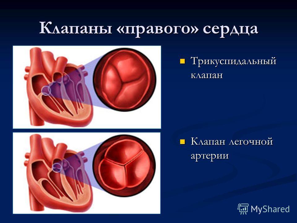 Клапаны «правого» сердца Трикуспидальный клапан Клапан легочной артерии