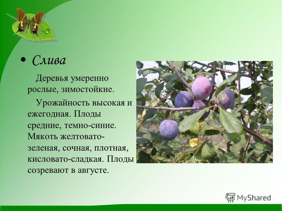 Слива Деревья умеренно рослые, зимостойкие. Урожайность высокая и ежегодная. Плоды средние, темно-синие. Мякоть желтовато- зеленая, сочная, плотная, кисловато-сладкая. Плоды созревают в августе.