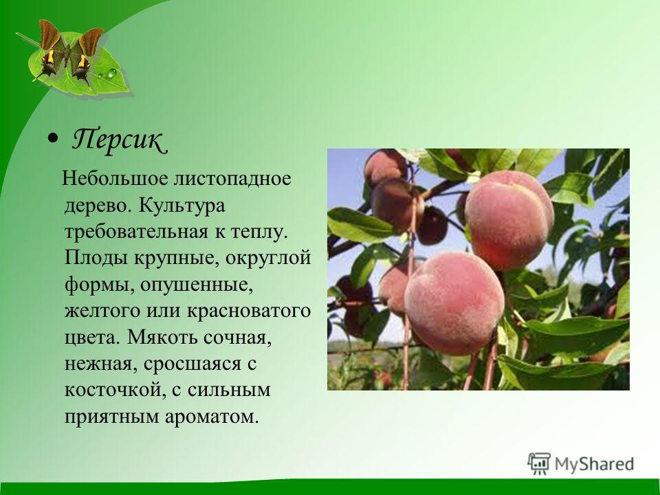 Персик Небольшое листопадное дерево. Культура требовательная к теплу. Плоды крупные, округлой формы, опушенные, желтого или красноватого цвета. Мякоть сочная, нежная, сросшаяся с косточкой, с сильным приятным ароматом.