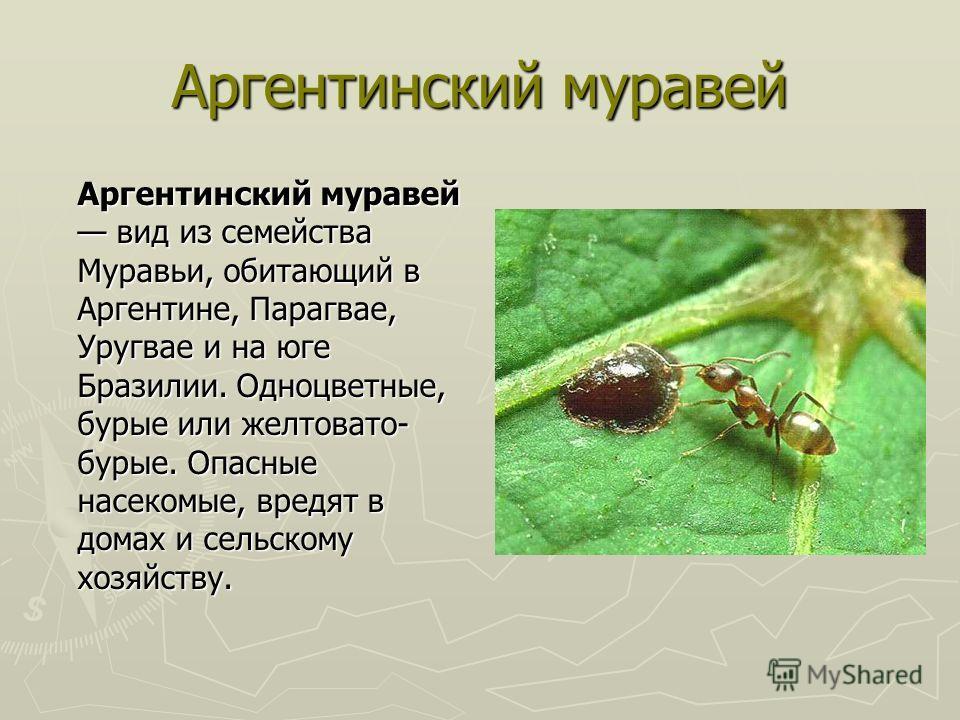 Аргентинский муравей Аргентинский муравей вид из семейства Муравьи, обитающий в Аргентине, Парагвае, Уругвае и на юге Бразилии. Одноцветные, бурые или желтовато- бурые. Опасные насекомые, вредят в домах и сельскому хозяйству.