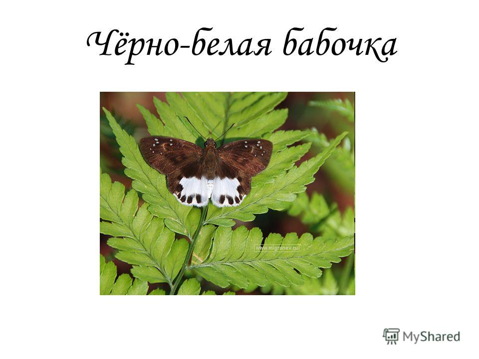 Чёрно-белая бабочка