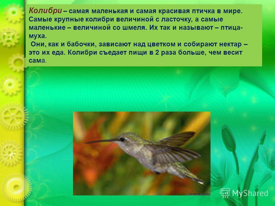 Колибри – самая маленькая и самая красивая птичка в мире. Самые крупные колибри величиной с ласточку, а самые маленькие – величиной со шмеля. Их так и называют – птица- муха. Они, как и бабочки, зависают над цветком и собирают нектар – это их еда. Ко