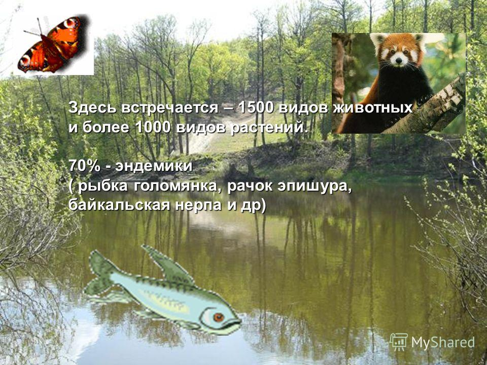 Здесь встречается – 1500 видов животных и более 1000 видов растений. 70% - эндемики ( рыбка голомянка, рачок эпишура, байкальская нерпа и др)