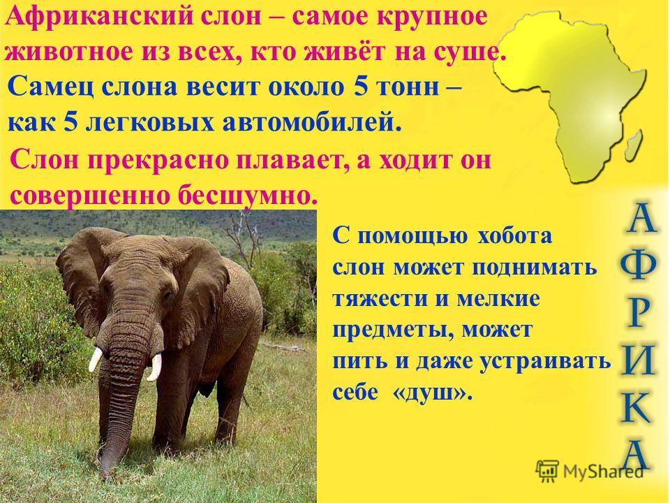 Африканский слон – самое крупное животное из всех, кто живёт на суше. Самец слона весит около 5 тонн – как 5 легковых автомобилей. Слон прекрасно плавает, а ходит он совершенно бесшумно. С помощью хобота слон может поднимать тяжести и мелкие предметы