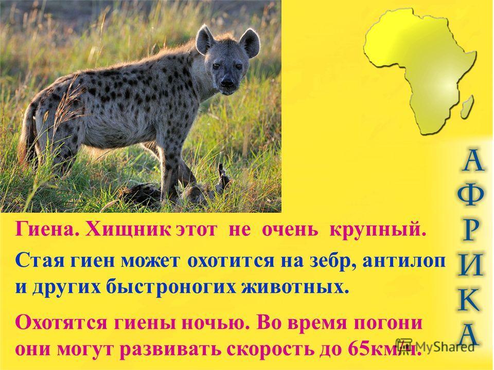 Гиена. Хищник этот не очень крупный. Стая гиен может охотится на зебр, антилоп и других быстроногих животных. Охотятся гиены ночью. Во время погони они могут развивать скорость до 65 км/ч.