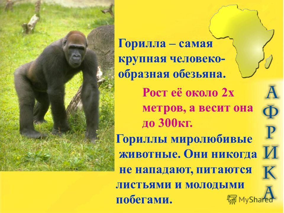 Горилла – самая крупная человеко- образная обезьяна. Рост её около 2 х метров, а весит она до 300 кг. Гориллы миролюбивые животные. Они никогда не нападают, питаются листьями и молодыми побегами.
