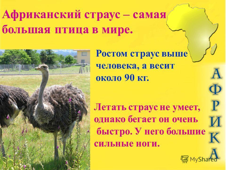 Африканский страус – самая большая птица в мире. Ростом страус выше человека, а весит около 90 кг. Летать страус не умеет, однако бегает он очень быстро. У него большие сильные ноги.