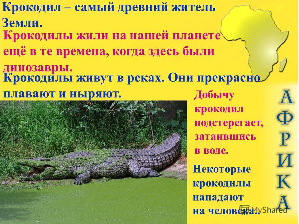 Крокодил – самый древний житель Земли. Крокодилы жили на нашей планете ещё в те времена, когда здесь были динозавры. Крокодилы живут в реках. Они прекрасно плавают и ныряют. Добычу крокодил подстерегает, затаившись в воде. Некоторые крокодилы нападаю