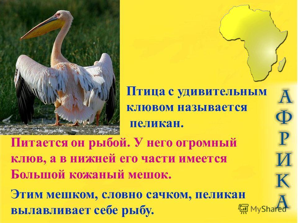 Птица с удивительным клювом называется пеликан. Питается он рыбой. У него огромный клюв, а в нижней его части имеется Большой кожаный мешок. Этим мешком, словно сачком, пеликан вылавливает себе рыбу.