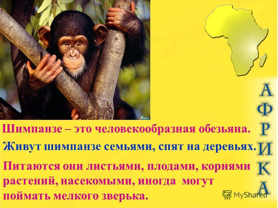 Шимпанзе – это человекообразная обезьяна. Живут шимпанзе семьями, спят на деревьях. Питаются они листьями, плодами, корнями растений, насекомыми, иногда могут поймать мелкого зверька.