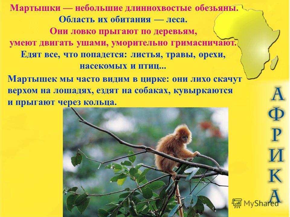 Мартышки небольшие длиннохвостые обезьяны. Область их обитания леса. Они ловко прыгают по деревьям, умеют двигать ушами, уморительно гримасничают. Едят все, что попадется: листья, травы, орехи, насекомых и птиц... Мартышек мы часто видим в цирке: они