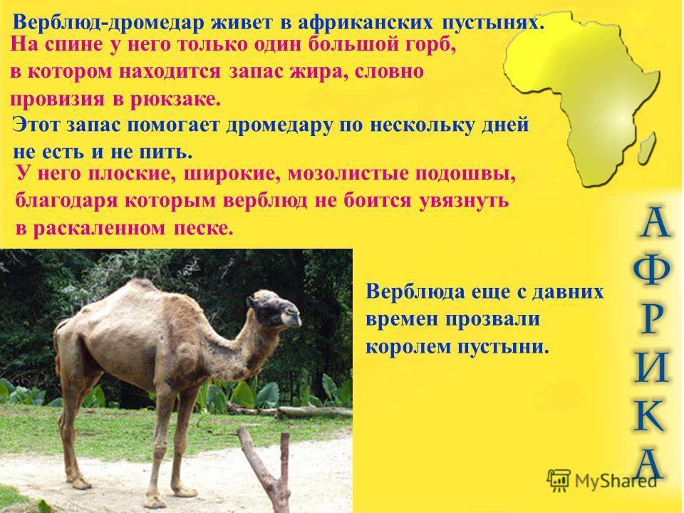 Верблюд-дромедар живет в африканских пустынях. На спине у него только один большой горб, в котором находится запас жира, словно провизия в рюкзаке. Этот запас помогает дромедару по нескольку дней не есть и не пить. У него плоские, широкие, мозолистые