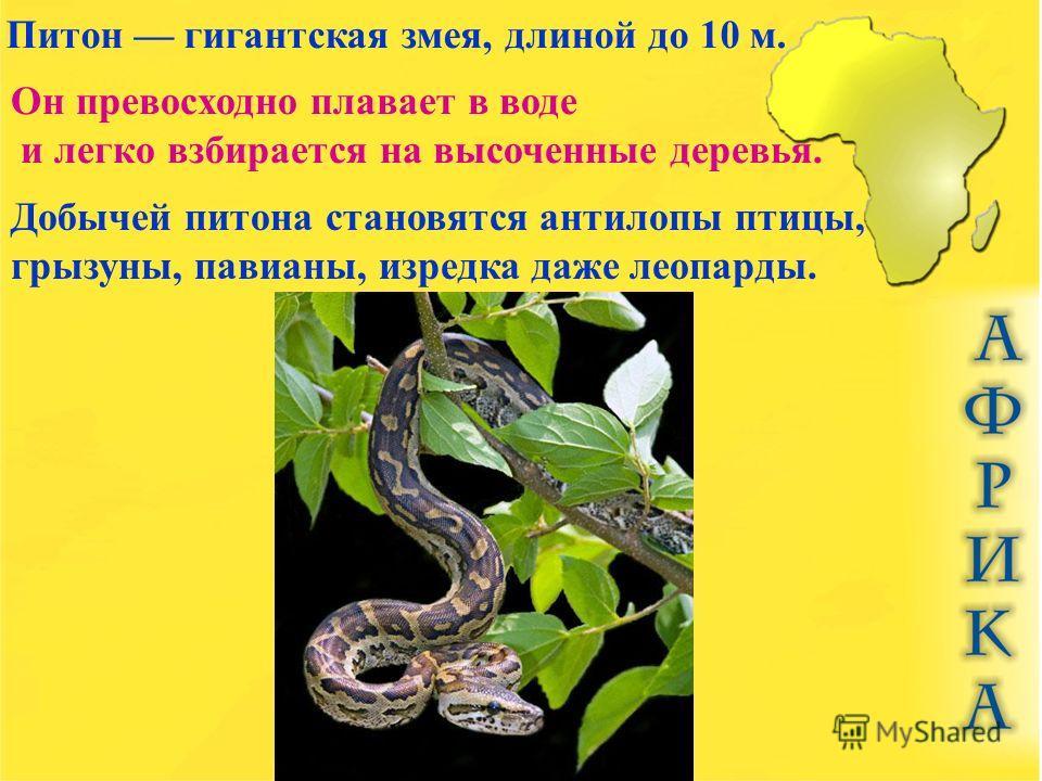 Питон гигантская змея, длиной до 10 м. Он превосходно плавает в воде и легко взбирается на высоченные деревья. Добычей питона становятся антилопы птицы, грызуны, павианы, изредка даже леопарды.