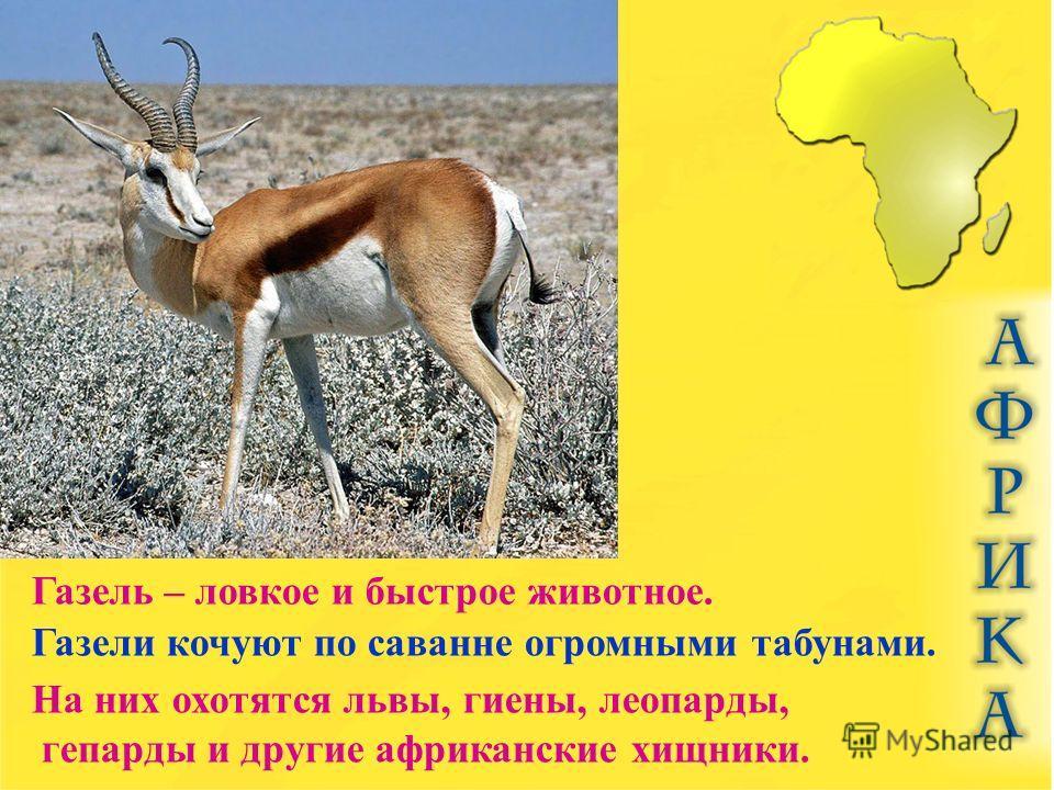 Газель – ловкое и быстрое животное. Газели кочуют по саванне огромными табунами. На них охотятся львы, гиены, леопарды, гепарды и другие африканские хищники.