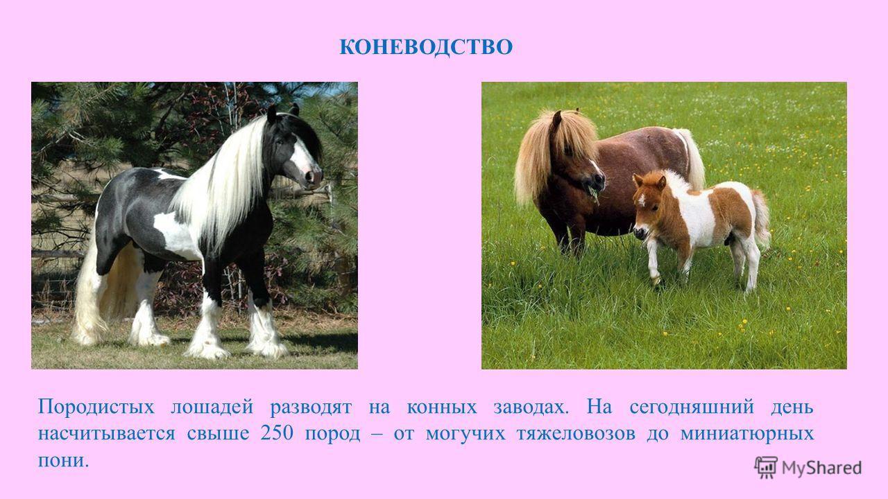 КОНЕВОДСТВО Породистых лошадей разводят на конных заводах. На сегодняшний день насчитывается свыше 250 пород – от могучих тяжеловозов до миниатюрных пони.