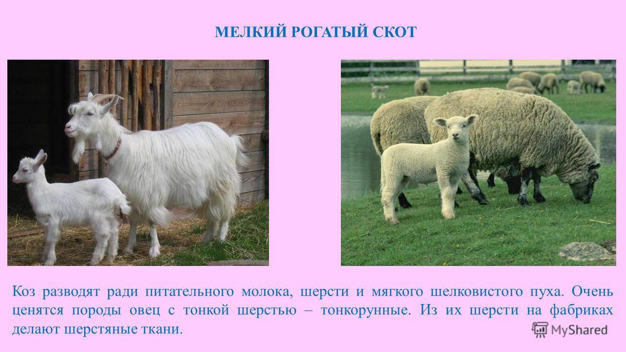 МЕЛКИЙ РОГАТЫЙ СКОТ Коз разводят ради питательного молока, шерсти и мягкого шелковистого пуха. Очень ценятся породы овец с тонкой шерстью – тонкорунные. Из их шерсти на фабриках делают шерстяные ткани.