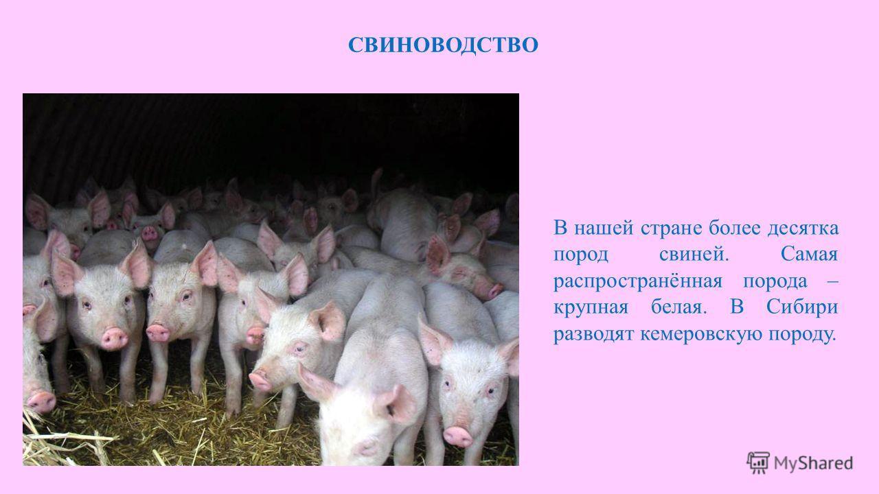 СВИНОВОДСТВО В нашей стране более десятка пород свиней. Самая распространённая порода – крупная белая. В Сибири разводят кемеровскую породу.