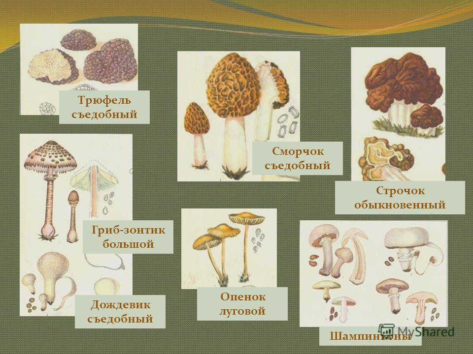 Съедобные грибы Белый гриб Масленок зернистый, масленок лиственничный Волнушка Лисички Рыжик Сыроежки