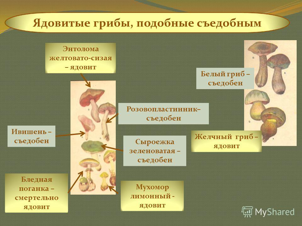 Ядовитые грибы, симптомы отравления которыми отсутствуют. Вызывают гемолиз крови (разрушение эритроцитов – острая почечная недостаточность – кислородное голодание тканей – смерть) Говорушка восковая Говорушка оранжево-красная Астроспорина звездчато-с