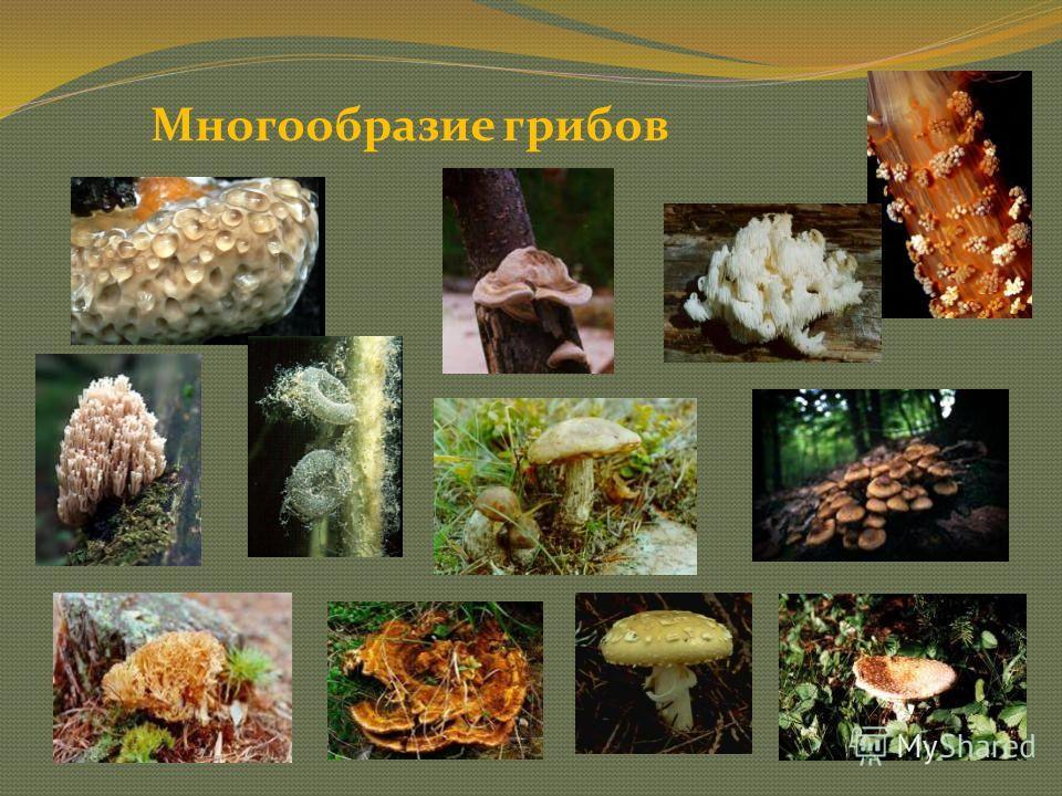 Грибы – это особая группа живых существ, которая не относится ни к растениям, ни к животным. Что мы называем грибами?