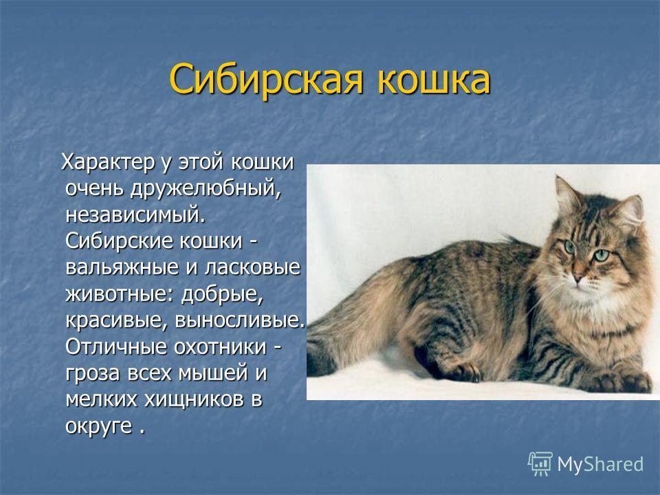 Сибирская кошка Характер у этой кошки очень дружелюбный, независимый. Сибирские кошки - вальяжные и ласковые животные: добрые, красивые, выносливые. Отличные охотники - гроза всех мышей и мелких хищников в округе. Характер у этой кошки очень дружелюб
