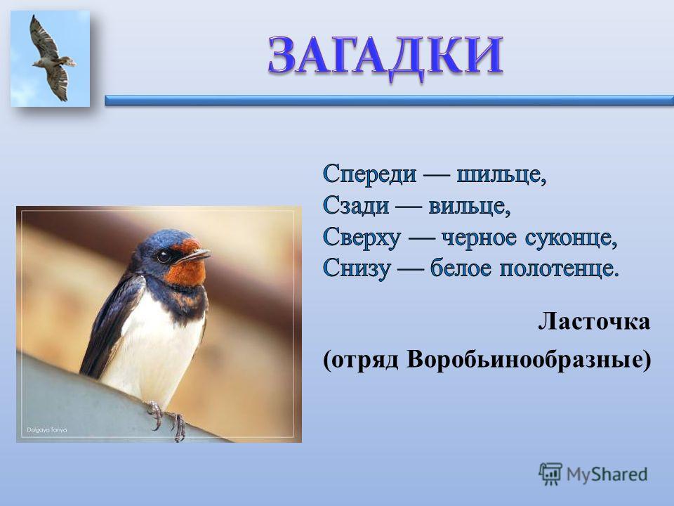 Ласточка (отряд Воробьинообразные)