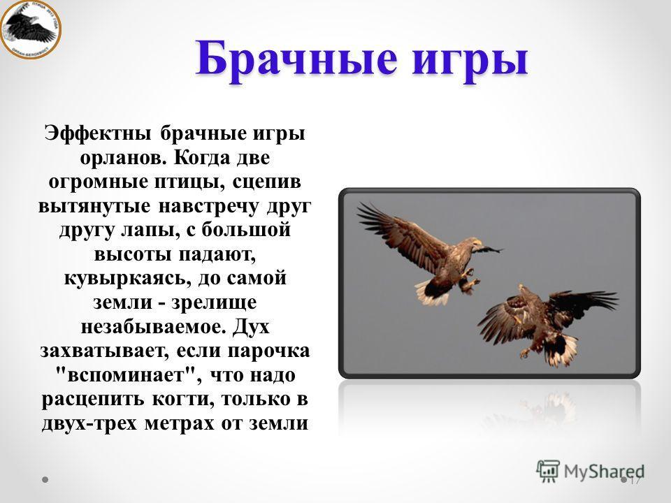 Брачные игры Эффектны брачные игры орланов. Когда две огромные птицы, сцепив вытянутые навстречу друг другу лапы, с большой высоты падают, кувыркаясь, до самой земли - зрелище незабываемое. Дух захватывает, если парочка